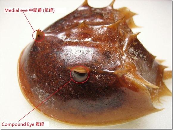 LimulidaeEyes
