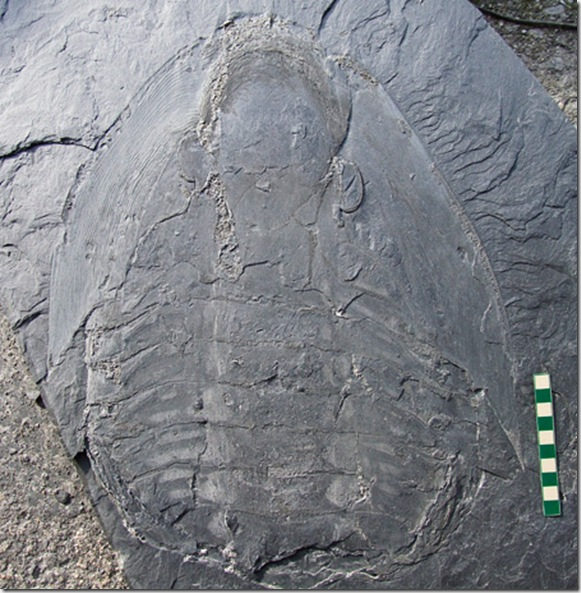 090511-giant-trilobites-swarms-picture_big